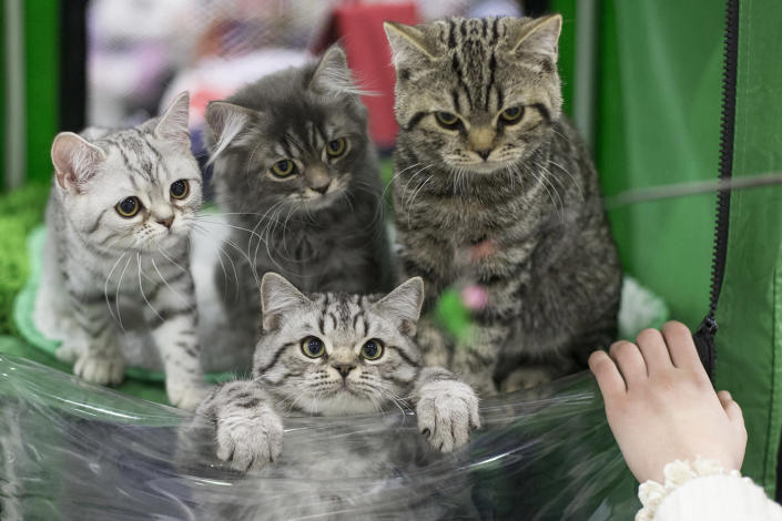 <p>Cats are held by their owner waiting for evaluation by a judge during a cat show in Moscow, Russia, on Dec. 4, 2016. (Alexander Zemlianichenko Jr./AP) </p>