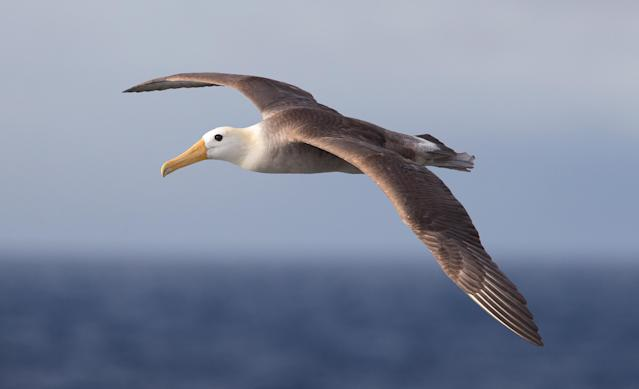 Albatrosses have been fitted with real time GPS data logging systems, in order to catch illegal fisheries and boats that are destroying marine ecosystems (Getty)