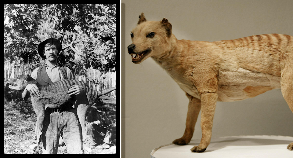 Tasmanian tigers were hunted to extinction after Europeans colonised Tasmania. Source: Getty