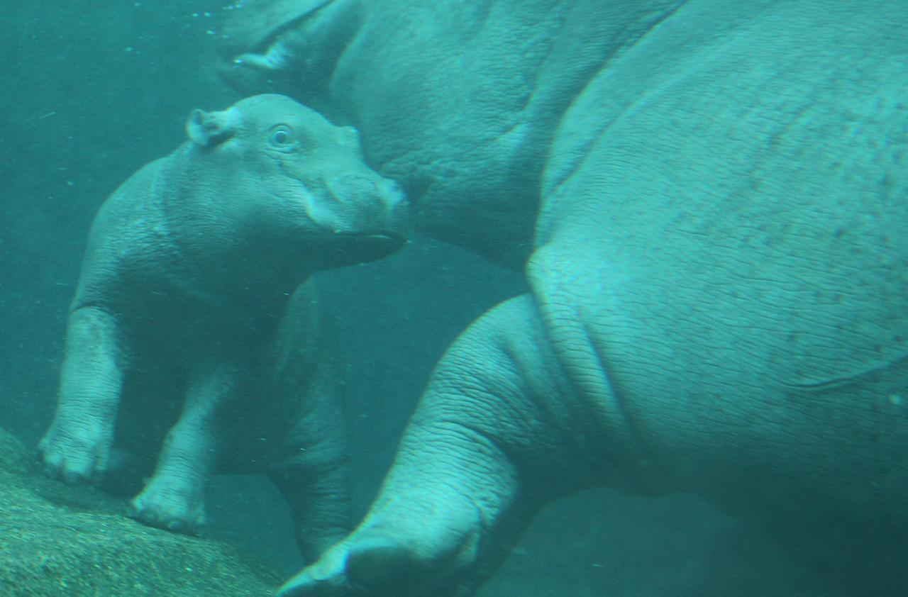 BERLIN, GERMANY - NOVEMBER 01:  A baby hippopotamus swims with its mother on the first day it was presented to the public at the Zoo Berlin zoo on November 1, 2011 in Berlin, Germany. The baby hippo was born at the zoo on October 23.  (Photo by Sean Gallup/Getty Images)