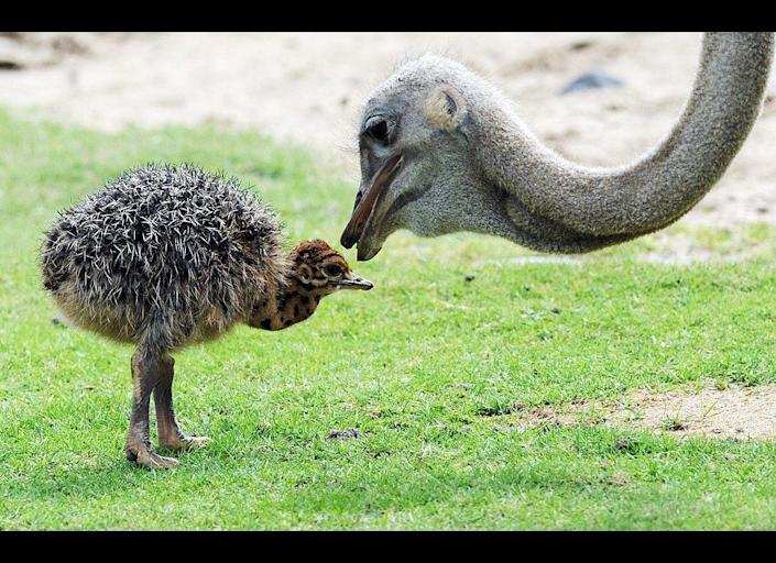 One of 13 newborn ostriches is accompanied by a hen as it explores its enclosure on June 21, 2011 at the zoo in Berlin. The flightless birds are native to Africa.