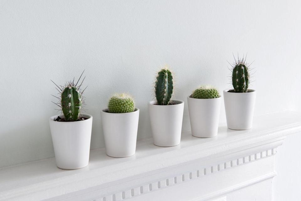 """<p><a class=""""link rapid-noclick-resp"""" href=""""https://go.redirectingat.com?id=74968X1596630&url=https%3A%2F%2Fwww.homedepot.com%2Fp%2FAltman-Plants-3-5-in-Assorted-Old-Man-Cactus-3-Pack-0881025%2F207162671&sref=https%3A%2F%2Fwww.elledecor.com%2Flife-culture%2Ffun-at-home%2Fnews%2Fg3284%2Fbest-indoor-plants-for-apartments%2F"""" rel=""""nofollow noopener"""" target=""""_blank"""" data-ylk=""""slk:Shop Now"""">Shop Now</a><br></p><p><em>$16, Home Depot</em><br></p><p>Funky <em>and </em>unfussy, cacti are probably the poster plants for non-garden environments. They only require watering once a week while growing, and during cooler weather, you can get away with watering every few weeks to a month. Place it in a sunny area but keep out of direct sunlight, which can make the cactus look bleached or even orange. Cacti have an irresistibly unique aesthetic that blends with a range of apartment styles, from bohemian to modern. </p>"""