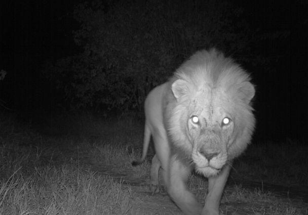 PHOTO: A night camera captures a male lion in Limpopo National Park, Mozambique. (Panthera/Greater Limpopo Carnivore Programme)