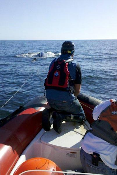 This image provided by the Pacific Marine Mammal Center shows a rescue boat following an entangled whale April 17, 2012, off the Southern California coast. Rescuers say they were able to loosen some of the fishing line that entangled this 40-foot gray whale off the Southern California coast before ending rescue operations for the day. Rescue operations are set to resume Wednesday April 18, 2012. (AP Photo/ Pacific Marine Mammal Center)