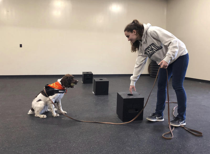 In this May 7, 2019 photo, student Jessie Show works with Luna, a springer spaniel whom she has trained to sniff out a fungus sample placed in a scent box at the State University of New York, Cobleskill, in Cobleskill, N.Y. Cobleskill's canine program was a major deciding factor in choosing a college, said Show, who grew up near Scranton, Pennsylvania. She said she plans to train service dogs for people with physical handicaps. (AP Photo/Mary Esch)