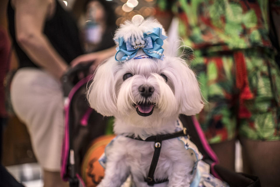 Several breeds of dogs and dogs of unknown breed cheered adults and children in a costume contest held in the Higienópolis neighborhood in Sao Paulo, Brazil. (Photo by Cris Faga/NurPhoto via Getty Images)