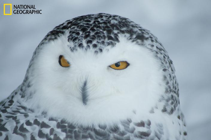 """Many owls and eagles stay captive at the Mountsberg Conservation area in Ontario, Canada. This snowy owl is a majestic animal to watch, so silent and stealth. Such beautiful feathers and wide open eyes create a serious mood and fierce look. (Photo and caption Courtesy Patrick Marcoux / National Geographic Your Shot) <br> <br> <a href=""""http://ngm.nationalgeographic.com/your-shot/weekly-wrapper"""" rel=""""nofollow noopener"""" target=""""_blank"""" data-ylk=""""slk:Click here"""" class=""""link rapid-noclick-resp"""">Click here</a> for more photos from National Geographic Your Shot."""