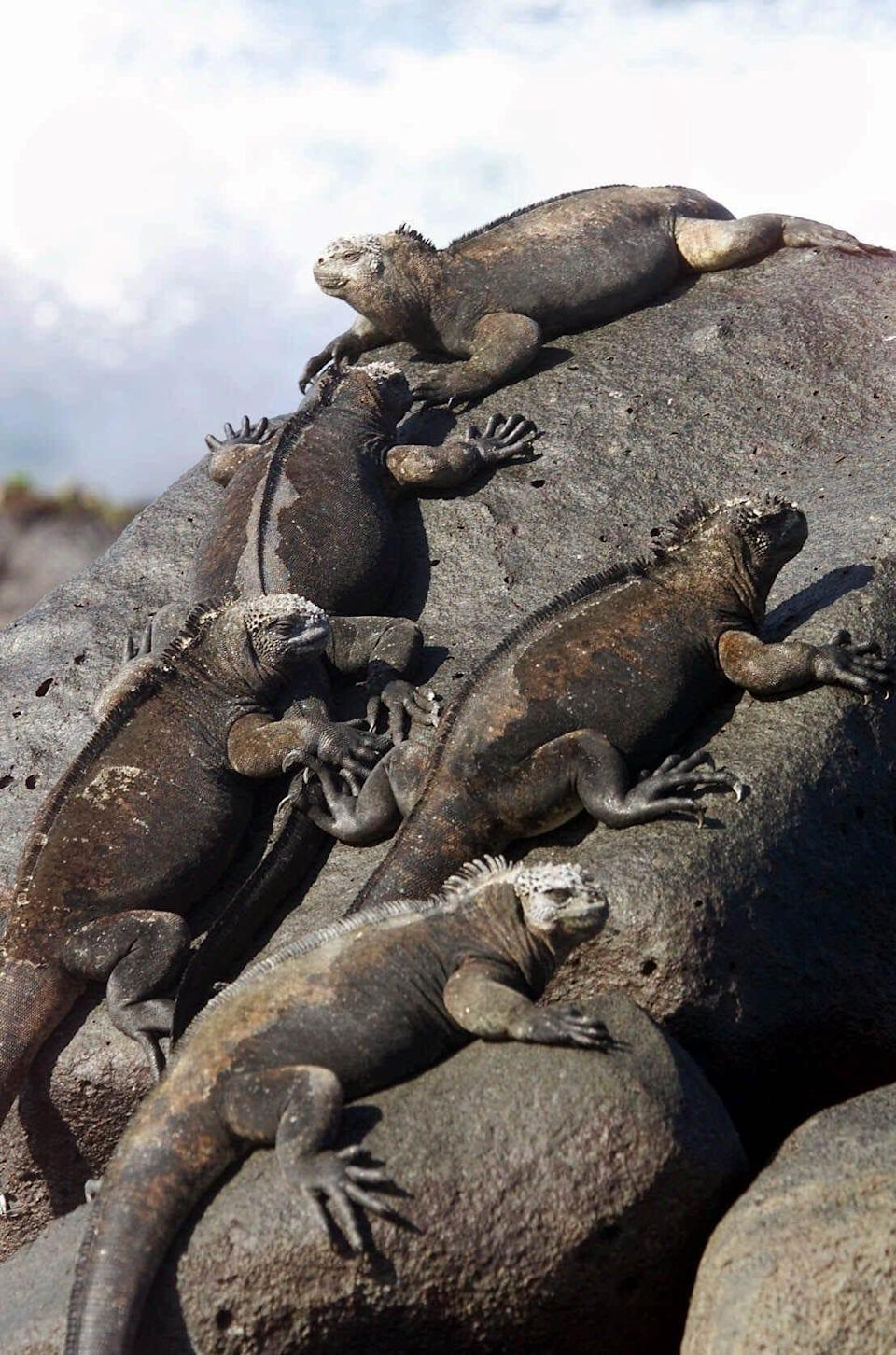 """Sea iguanas have a crucial role in """"Luca."""""""