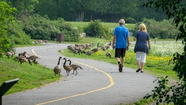 People walk among Canada Geese along a multi-use pathway in Gatineau, Que., on Monday. (Francis Ferland/CBC - image credit)