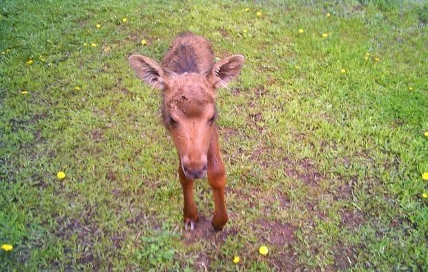 The baby moose has been separated from its mother since Thursday on a rural New Brunswick road.  (Submitted/Margaret Williston - image credit)