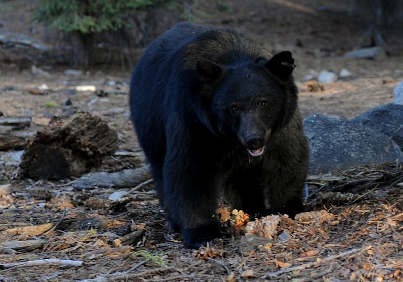The Louisiana black bear, a subspecies of black bear like the one seen here, lives in certain areas of the American south