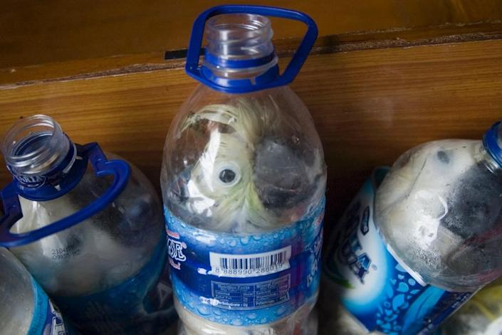 Rare Indonesian yellow-crested cockatoos were found inside water bottles confiscated from alleged wildlife smugglers earlier this year (AFP Photo/STR)