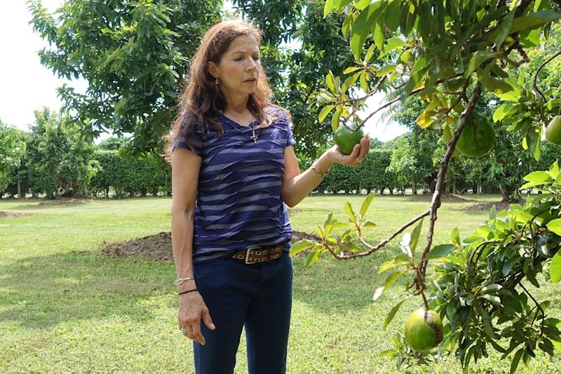 South Florida farmer Victoria Barnes holds an avocado from one of her trees on October 7, 2015 in Redland, Florida an area under quarantine due to an invasion of the Oriental fruit fly (AFP Photo/Kerry Sheridan)