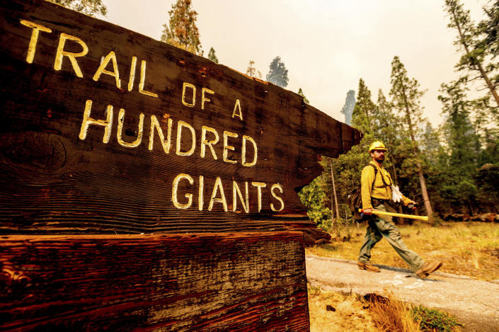 A firefighter battles the Windy Fire burning in the Trail of 100 Giants grove of Sequoia National Forest, Calif., on Sunday, Sept. 19, 2021. Flames scorched at least two sequoia trees as firefighters worked to defend the grove. (AP Photo/Noah Berger)