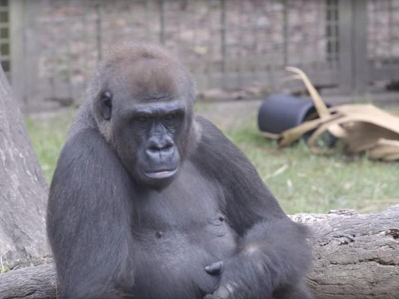 Praline,a 20-year-old lowland gorilla, threw a piece of wood at fleeing visitors at a zoo in New Orleans (Audubon Nature Institute/YouTube)