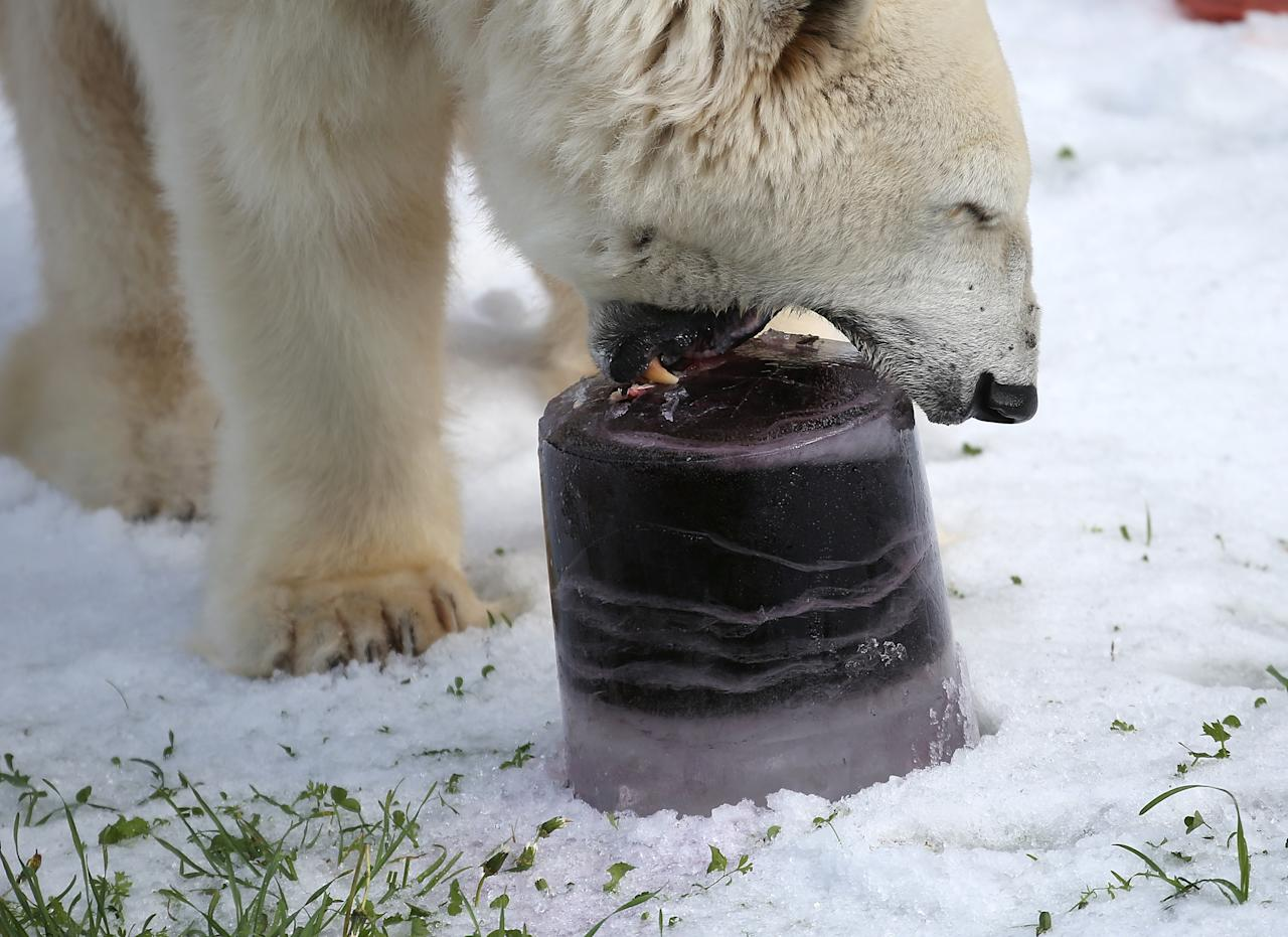 SAN FRANCISCO, CA - NOVEMBER 15:  Pike, a 30 year old Polar Bear, eats a frozen block of fish as he plays in man made snow at the San Francisco Zoo on November 15, 2012 in San Francisco, California.  Two San Francisco Zoo Polar Bears, Pike (30) and Ulu (32)celebrated their birthdays with 10 tons of man made snow and special treats.  (Photo by Justin Sullivan/Getty Images)