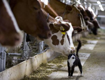 FILE PHOTO: Dairy cows nuzzle a barn cat as they wait to be milked at a farm in Granby, Quebec July 26, 2015.  REUTERS/Christinne Muschi/File Photo