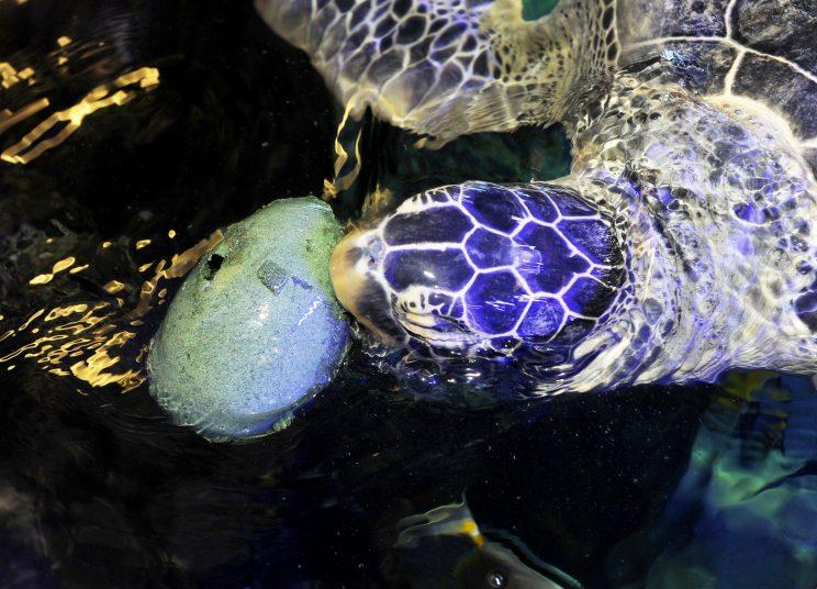 Noah, a giant green sea turtle, has been given special low-calorie Easter Eggs in a bid to help the greedy eight-year-old shed some weight.