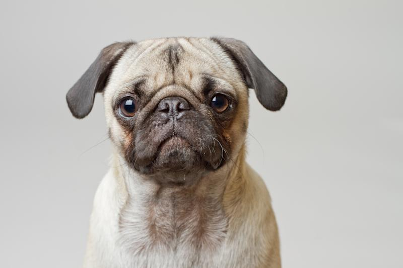 Portrait of pug against white background.