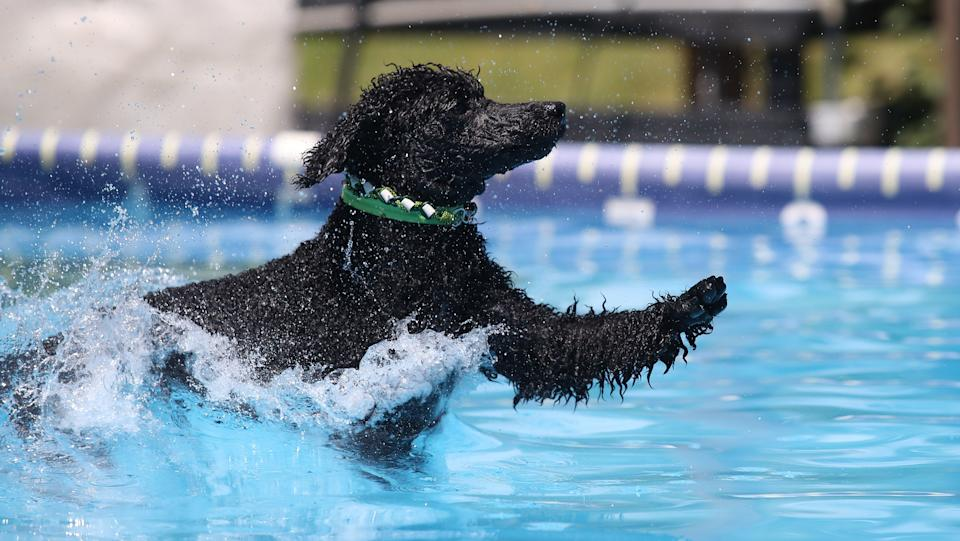 Pools in Ontario aren't open for humans yet, but they are for dogs. Melissa Blazak's 11-year-old standard poodle, Rudy, makes some huge leaps into a pool at the K9 Fun Zone on June 19, 2020. (Steve Russell/Toronto Star via Getty Images)