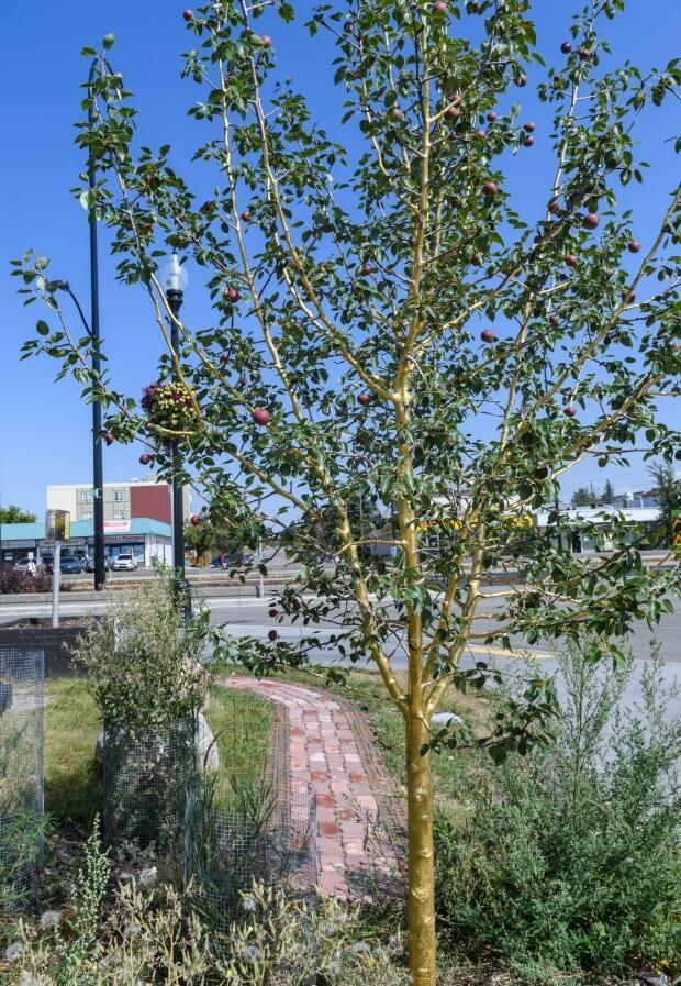 This young pear tree on 17th Avenue and 34th Street S.E. is now covered with a very thin sheen of real gold. (Submitted by the City of Calgary - image credit)