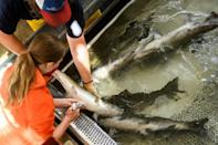 The powerful fish -- who can exceed 50 lb in weight -- will be tranquilized for tagging and receive vitamin injections