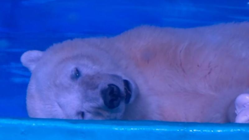 The zoo houses two polar bears in small enclosures with concrete walls and floors. Photo: Animals Asia