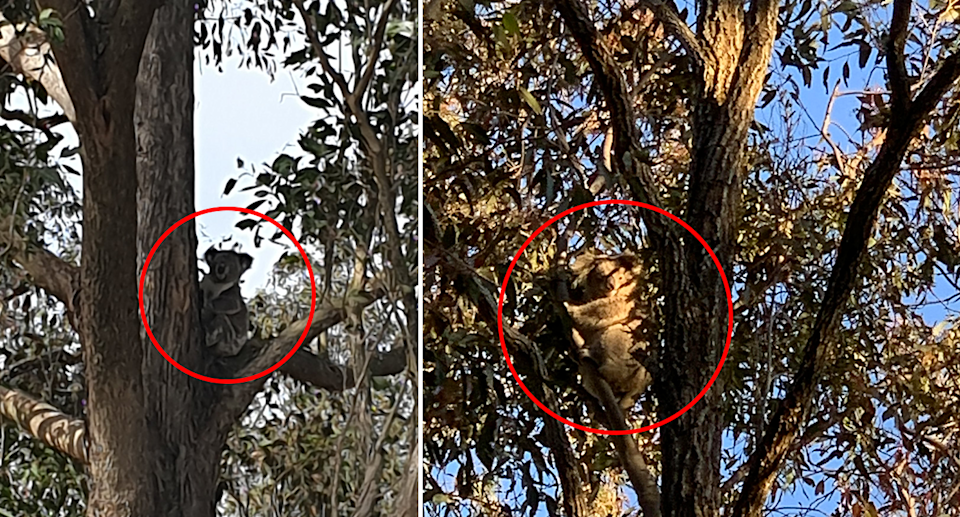 Port Stephens locals are sharing photos of recent koala sightings to a Facebook group. Source: Supplied