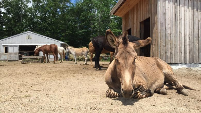 2 zonkeys, 1 horse diagnosed with botulism at Equine rescue
