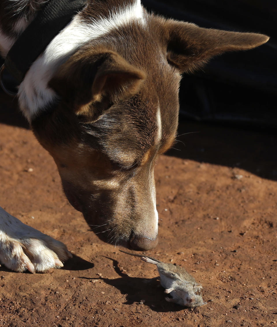 """Hank, a working dog turned mouser, drops a mouse he caught on a farm near Tottenham, Australia on May 19, 2021. Vast tracts of land in Australia's New South Wales state are being threatened by a mouse plague that the state government describes as """"absolutely unprecedented."""" Just how many millions of rodents have infested the agricultural plains across the state is guesswork. (AP Photo/Rick Rycroft)"""
