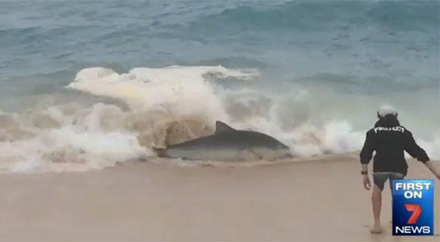 Sam tried to touch one of the sharks which came close to shore. Source: 7News