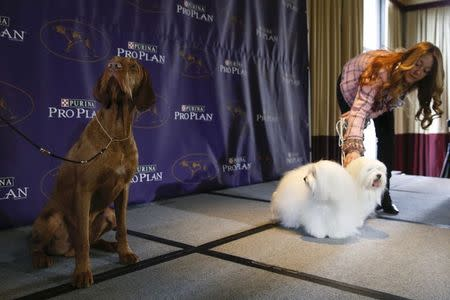 New breed entries in the 139th Annual Westminster Kennel Club Dog Show Falko, a Wirehaired Vizla breed, sits while Chanel and Burberry, Cotons de Tulear breeds, stand with their owner Justine Romano during a press conference in New York January 21, 2015. REUTERS/Shannon Stapleton