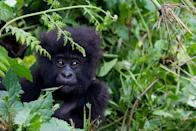 A baby mountain gorilla, a subspecies of the Eastern gorilla, in the Sabyinyo Mountains of Rwanda