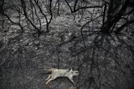 An animal lies dead after a wildfire in Varibobi area, northern Athens, Thursday, Aug. 5, 2021. Forest fires fueled by a protracted heat wave in Greece raged into Thursday, forcing the evacuation of dozens of villages as firefighters managed to prevent the flames from reaching the archaeological site at the birthplace of the ancient Olympics. (AP Photo/Lefteris Pitarakis)