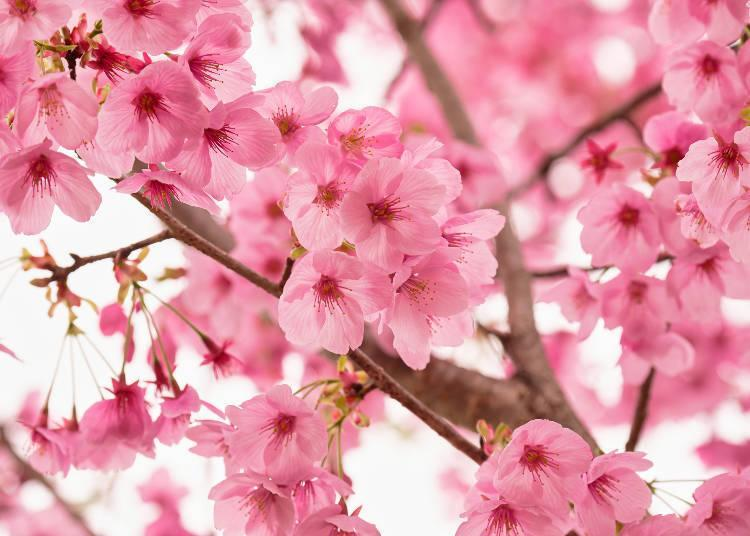 """A variety of cherry blossoms called """"sunlight"""" (Yoko) found in the garden park"""