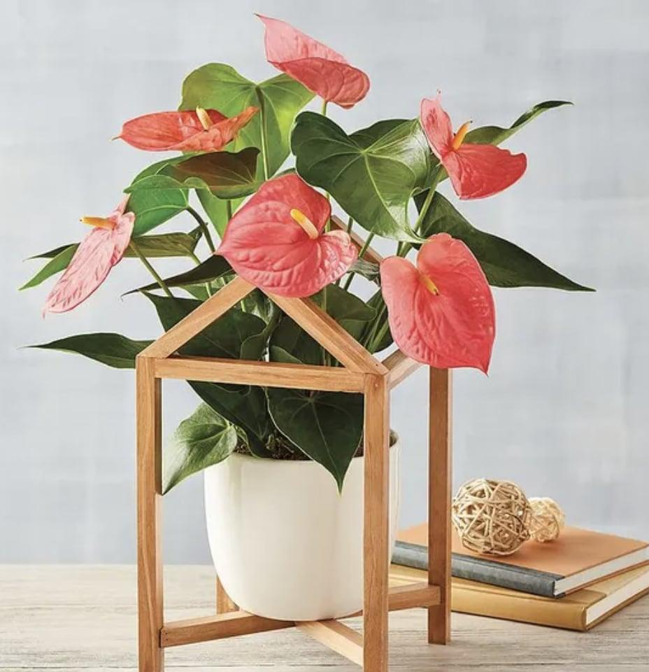 <p>With glossy, green heart-shaped leaves, this <span>Pink Anthurium</span> ($70) is as pretty as can be.</p>
