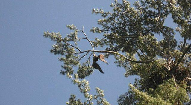 The bald eagle was trapped in a rope wrapped around a tree. Source: Facebook/Jackie Gervais Galvin