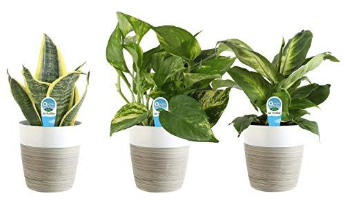 Costa Farms Clean Air 3-Pack O2 for You Live House Plant Collection, White Decor Planter (Amazon / Amazon)