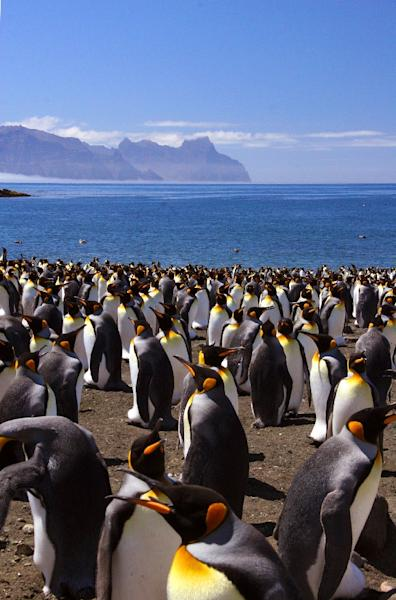 Researchers calculate that 1.1 million King penguin couples will be forced to abandon their current breeding grounds within decades  (AFP Photo/Celine Le Bohec)