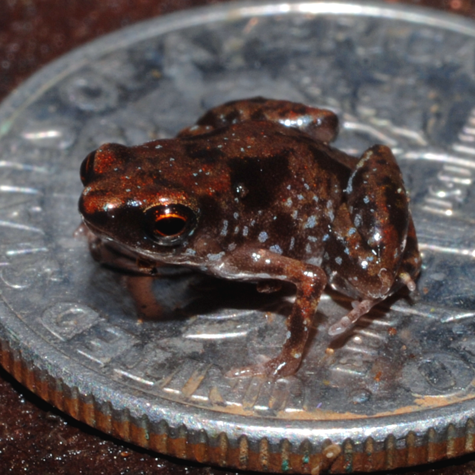 """<span class=""""caption"""">The world's smallest frog can fit on a dime.</span> <span class=""""attribution""""><a class=""""link rapid-noclick-resp"""" href=""""https://commons.wikimedia.org/wiki/File:Paratype_of_Paedophryne_amauensis_(LSUMZ_95004).png"""" rel=""""nofollow noopener"""" target=""""_blank"""" data-ylk=""""slk:E.N. Rittmeyer et al. (2012)"""">E.N. Rittmeyer et al. (2012)</a></span>"""