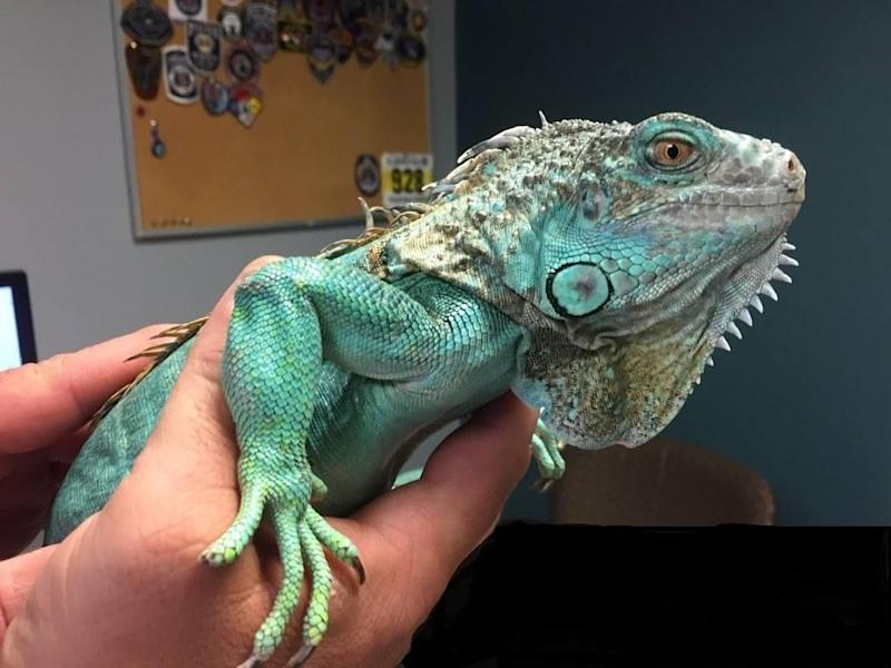 Man arrested for pulling iguana out of his shirt and throwing it at a restaurant manager