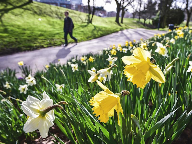 Daffodils in full bloom in the sunshine at Castle Park, Bristol: PA