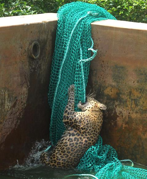 A fully grown male wild leopard climbs a net after it fell into a water reservoir tank at a tea estate in Haskhowa, some 45 kms from Siliguri, on June 20, 2012. The animal was rescued by the Sukna Forest rescue team from the Mahananda Wildlife sanctuary by lowering a ladder and a net into the tank. AFP PHOTO/Diptendu DUTTA
