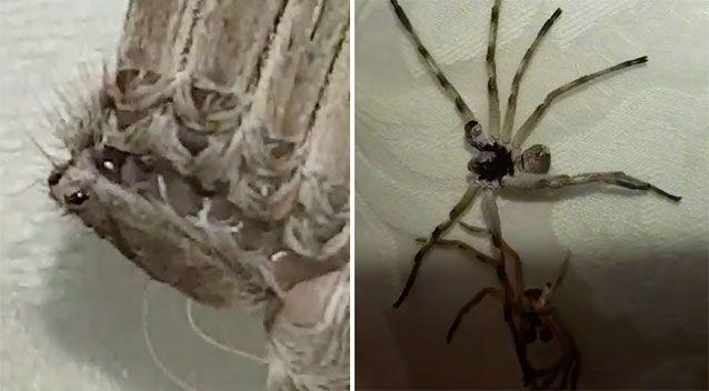 The spider remained lifeless until Ms Adaway's son tried to remove the exo-skeleton. Source: Viral Hog