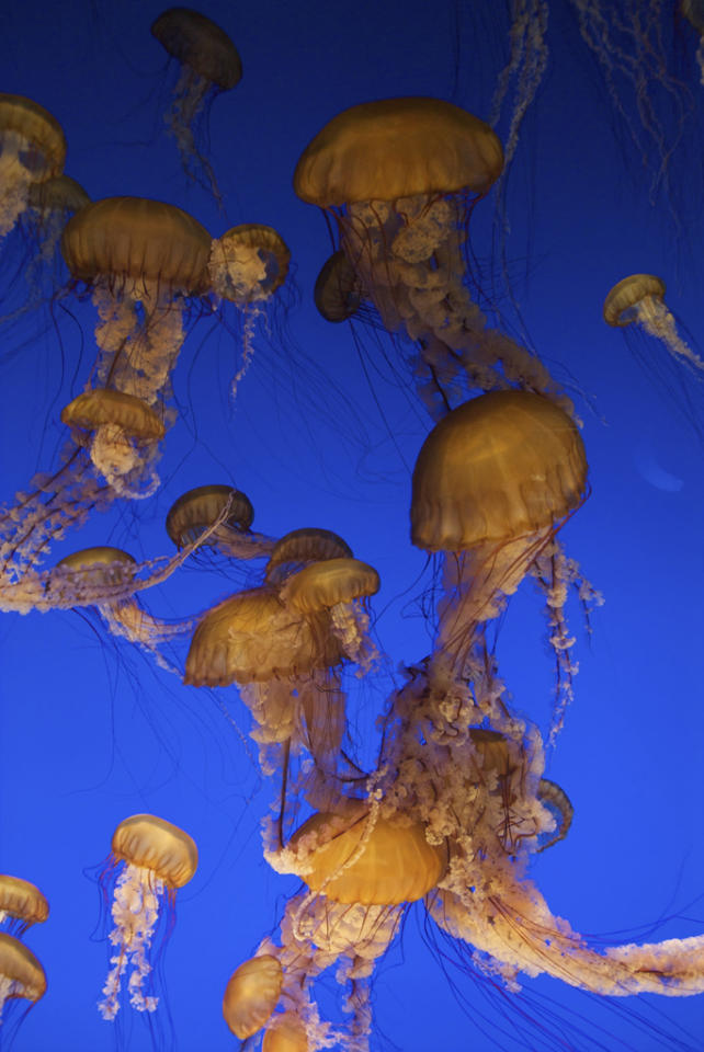 "<b>Sea Nettle Jellyfish</b> (Chrysaora fuscescens) Monterey, California, USA<br><br>When hunting, the Pacific sea nettle trails its 12-foot long tentacles to paralyze prey and uses ""oral arms"" to draw quarry into its mouth."