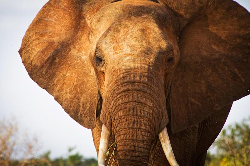 "The Tsavo Trust helps monitor giant ""tusker"" elephants through aerial and ground reconnaissance, and works closely with the Kenya Wildlife Service"