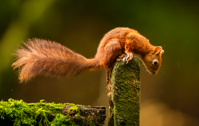 Red squirrels sit in the endangered category on the Red List. (PA)