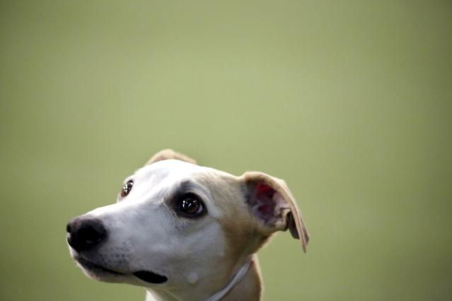 Whippet Bourbon looks at her handler in the Best of Breed event, at the Westminster Kennel Club dog show on Monday, Feb. 11, 2019, in New York. (AP Photo/Wong Maye-E)