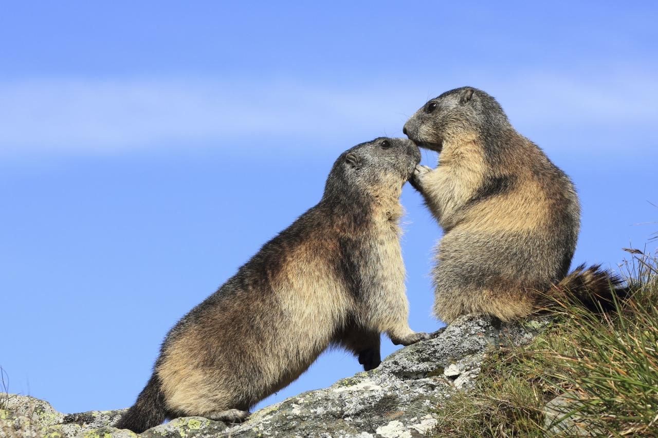 ** MANDATORY BYLINE ** PIC BY STEFAN MEYERS / ARDEA / CATERS NEWS - (Pictured Alpine marmots kissing) - From a loving look to an affectionate nuzzle, these are the charming images of cute creatures cosying up for Valentines Day. And as the heart-warming pictures show the animal kingdom can be just as romantic as us humans when it comes to celebrating the big day. SEE CATERS COPY.
