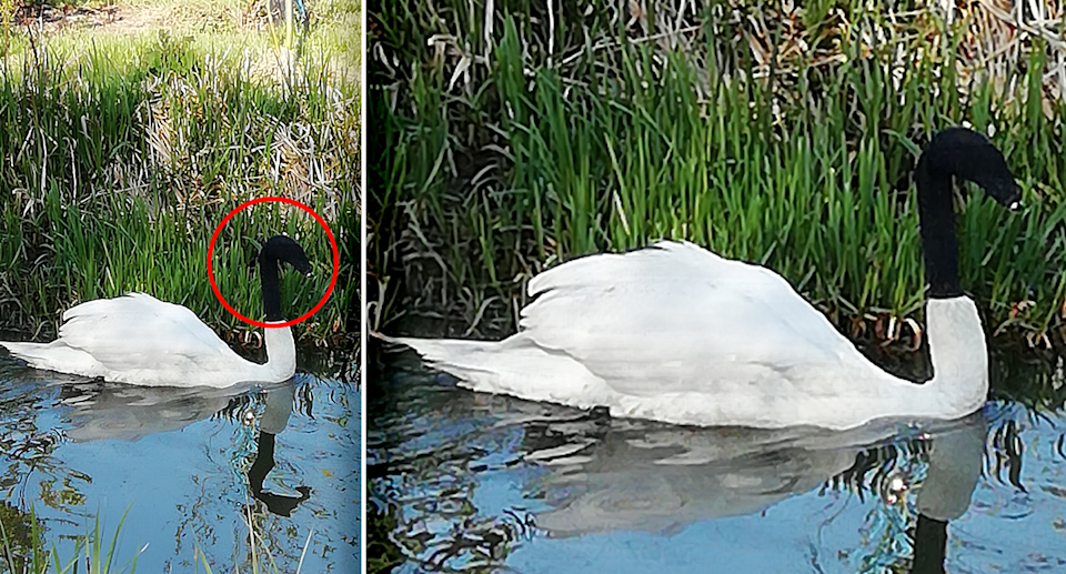 A swan pictured in two photos with a sock over its head.
